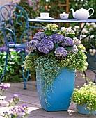 Pastellblauer Pflanzentopf mit lila blühenden Hortensien, Duftsteinrich und Dichondra