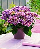 Hortensie (Hydrangea Tivoli blau) im Blumentopf auf einem Tisch