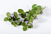 Fresh ground ivy with flowers