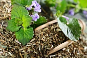 Ground ivy, fresh and dried
