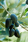 Kalamata Olives on the Tree