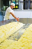 Cheese maker cutting and turning farmhouse cheddar curds