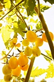 Yellow Pear Tomatoes Growing in a Garden