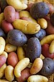 Peruanische Lila Kartoffeln und Fingerling-Kartoffeln