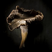 Funnel chanterelle against a black background