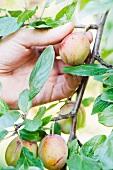 Gärtner pflückt eine Pflaume vom Baum