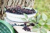 A bowl of elderberries in the garden