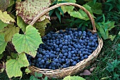 Blue grapes in a basket by the vine
