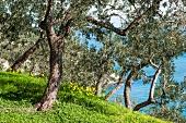 Idyllischer Olivenhain mit Blick auf das Meer