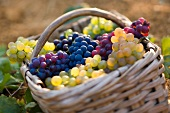 A wicker basket containing five different varieties of grape