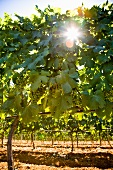 Vines in bright sunshine