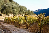 An autumnal vineyard adjoining an olive grove
