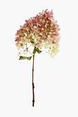 Hydrangea blossom on a stalk