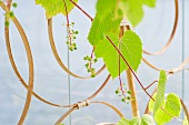Vine tendrils on a support