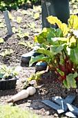 Rotstieliger Mangold wächst im Garten