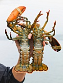 A hand holding two live lobsters