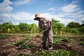 Cuba, Las Tunas, Farmer digging in field