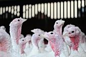 Turkeys on a farm.