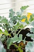 Broccoli plants in a pot