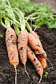 Freshly harvested carrots lying on the soil
