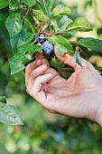 Hand holding a plum on a branch