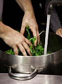 Spinach being washed in cold water