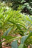 Cardamom plants in the field