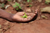 A hand holding ylang-ylang leaves