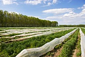 A field of green asparagus