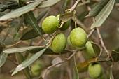 Grüne Oliven am Zweig