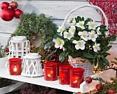 Blühende Schneerose in weißem Körbchen inmitten rot-weisser Weihnachtsdekoration