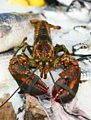 A fresh lobster and saltwater fish