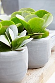 Kalanchoe thyrsiflora in Keramiktöpfen auf Holztisch