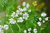 Coriander flowers (close-up)