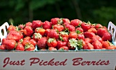 "Fresh Picked Strawberries in a ""Just Picked Berries"" Box; Outdoors"
