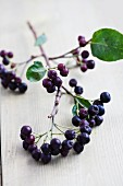 A sprig of aronia berries