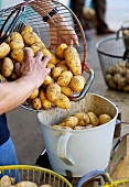 Freshly harvested potatoes being weighed