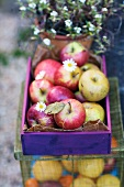 Small Crate of Fall Apples