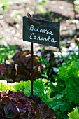 Batavia canasta lettuce in a bed with sign