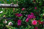 Climbing roses on a garden fence