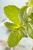 A sprig of fresh lemon balm