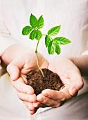 Hands holding a seedling in soil