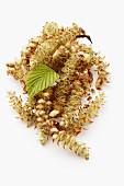 Beech catkins and a beech leaf