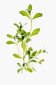 A few sprigs of stevia