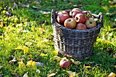Boskoop apples in a basket in the field