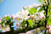 Apple blossom on the branch