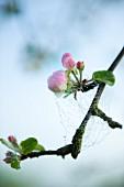 Spinnennetz mit Wassertropfen auf blühendem Apfelzweig