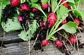 Freshly harvested radishes with soil around the roots