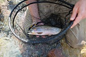 Mann hält Netz mit frisch gefangener Forelle