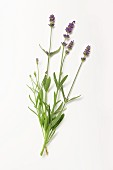 Lavender with flowers on a white surface